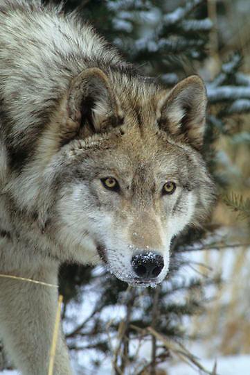Gray Wolf, (Canis lupus) Portrait of sub adult. Captive Animal.