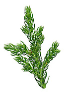 King William Pine  Athrotaxis selaginoides Height to 30m Evergreen coniferous tree. Native to mountainous regions of Tasmania but cultivated and planted for its ornamental value. Leaves are curved and pointed, arranged spirally along shoots. Flowers are rounded cones.