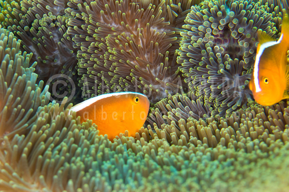 Alberto Carrera, Eastern Shunk Anemonefish, Amphiprion sandaracinos, Magnificent Sea anemone, Ritteri anemone,Heteractis magnifica, Lembeh, North Sulawesi, Indonesia, Asia