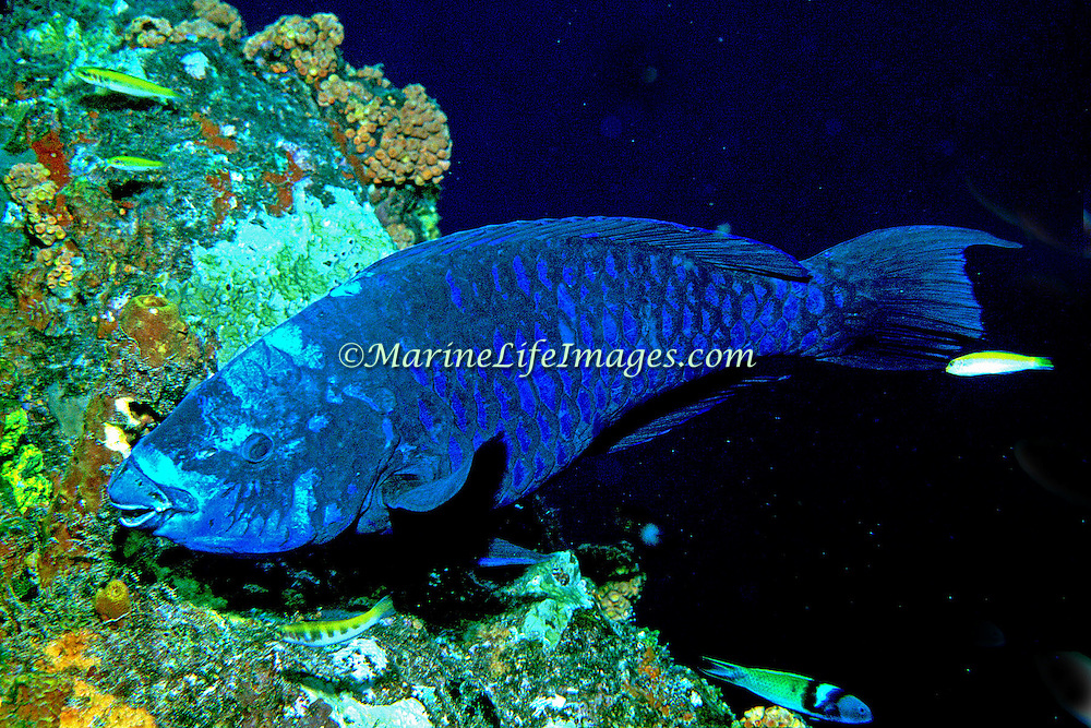 Midnight  Parrotfish swim about reefs and adjacent areas scrapping filamenmtous algae from hard substrates in Tropical West Atlantic; picture taken Grand Cayman.