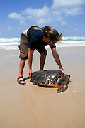 Israel, Volunteer returns large Green Sea Turtle (Chelonia mydas) to sea