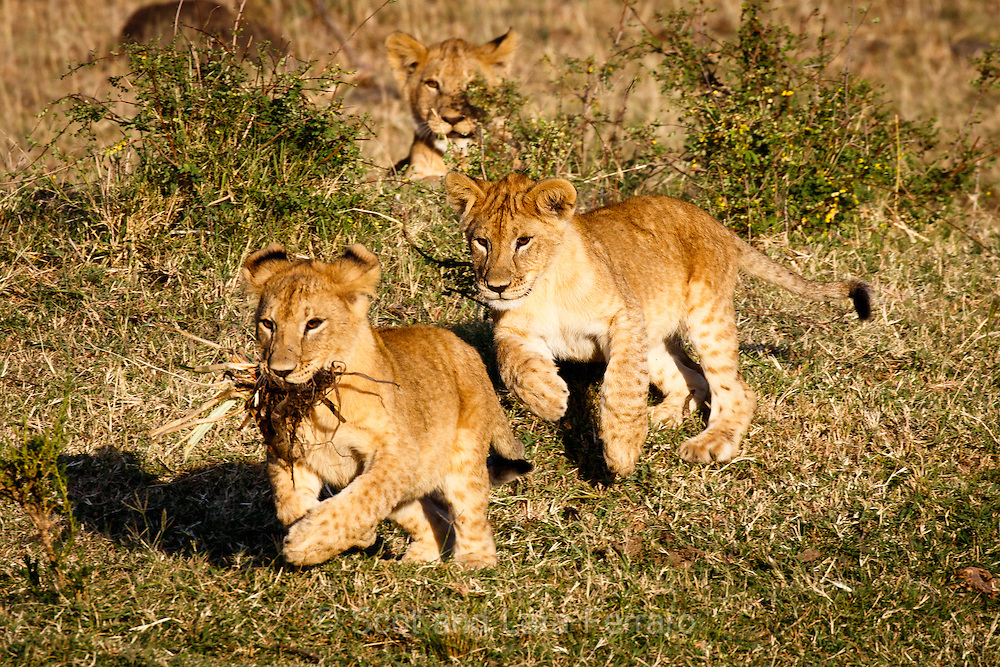Two lion cubs play a rousting game of chase in the Masai Mara, Kenya. It was fun watching how entertaining a bunch of grass could be.