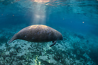 A manatee pauses while it basks in the warm Florida sun rays. Manatees enjoy the warm freshwater springs during the fall and winter.  This image is from November 2017. The Gulf of Mexico and other waterways get too cold for manatees during this time. This is a peek at an undisturbed, natural behavior while this manatee winters in the freshwater springs. Florida manatee, Trichechus manatus latirostris, a subspecies of the West Indian manatee, endangered. Three Sisters Springs, Crystal River National Wildlife Refuge, Kings Bay, Crystal River, Citrus County, Florida USA. IUCN Red List: Endangered. USFWS implemented downlisting to Threatened 2017: http://www.iucnredlist.org/details/22106/0.