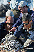 NOAA researchers Mark Sullivan (front) and Sean Guerin (left) restrain a Hawaiian monk seal, Monachus schauinslandi, while lead scientist Dr. Charles Littnan (center) attaches a Crittercam and tracking instrumentation package to it; west end of Molokai, Hawaii, photo taken under NOAA permit 10137-6