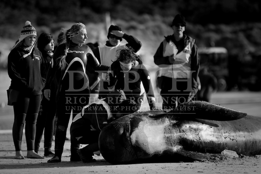 Pictured: Dr Ingrid Visser from the Orca Research Trust comforts volunteers at Rarawa Beach after three of the whales didn't survive the 50km journey from Spirits Bay..On Wednesday 22 September 2010 reports of approximately 80 Pilot Whales had stranded over 5km at the very remote Spirits Bay in the Far North of New Zealand. .Weather conditions across the Country had been horrendous and by night fall there was just 24 whales alive. With a 2 meter swell, gusting 100km/h winds and no sign of the weather improving a traditional rescue attempt at the beach was impossible...The Department of Conservation (DOC), Project Jonah, Orca Research Trust, Far North Whale Rescue, Local Iwi Ngati Kuri and hundredÕs of volunteers from across the country came together to attempt the most ambitious three day whale rescue in history... In the morning the surviving whales were moved to a near by stream where they could rest and recuperate for the night before being  loaded onto six trucks packed with sand and hay then  transported 50km South along windy dirt roads to sheltered Rarawa Beach where a refloat could be attempted in calmer waters..Photograph Richard Robinson .New Zealand Herald © 2010.