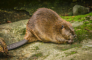 "The North American beaver (Castor canadensis) is one of two extant beaver species. It is native to North America and introduced to Patagonia in South America and some European countries In the United States and Canada, the species is often referred to simply as ""beaver"", though this causes some confusion because another distantly related rodent, Aplodontia rufa, is often called the ""mountain beaver"""