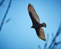 Turkey Vulture soaring over the Sourland Mountain Preserve Pond. Image taken with a Nikon 1V2 camera, FT1 adapter, and 80-400 mm VR lens (ISO 160, 400 mm, f/5.6, 1/1000 sec).