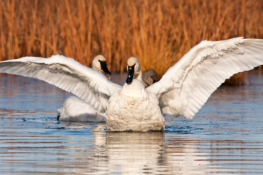 Trumpeter Swan (Cygnus buccinator) flapping wings after preening at Potter Marsh in the Anchorage Coastal Wildlife Refuge near Anchorage in Southcentral Alaska. Fall. Morning.