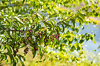 The chokecherry (Prunus virginiana) is a beautiful shrub or small tree found throughout most of North America except for the southeastern states. While the small beautiful cherries are inedible when ripe (mostly because of the dangerously toxic hydrocyanic acid inside the pits of the ripe berries), the cooked or dried berries are perfectly safe for consumption, and are fantastic for making delicious jams, jellies, syrup, sauces or even beer! These were found growing next to Lake Gulch in rural Baker County, Oregon on a warm summer day.
