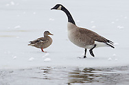 Middletown, New York - A Canada goose and a duck walk on the ice on a pond on March 8, 2013.