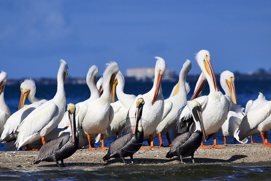 White Pelicans & Brown Pelicans Sebastian Florida