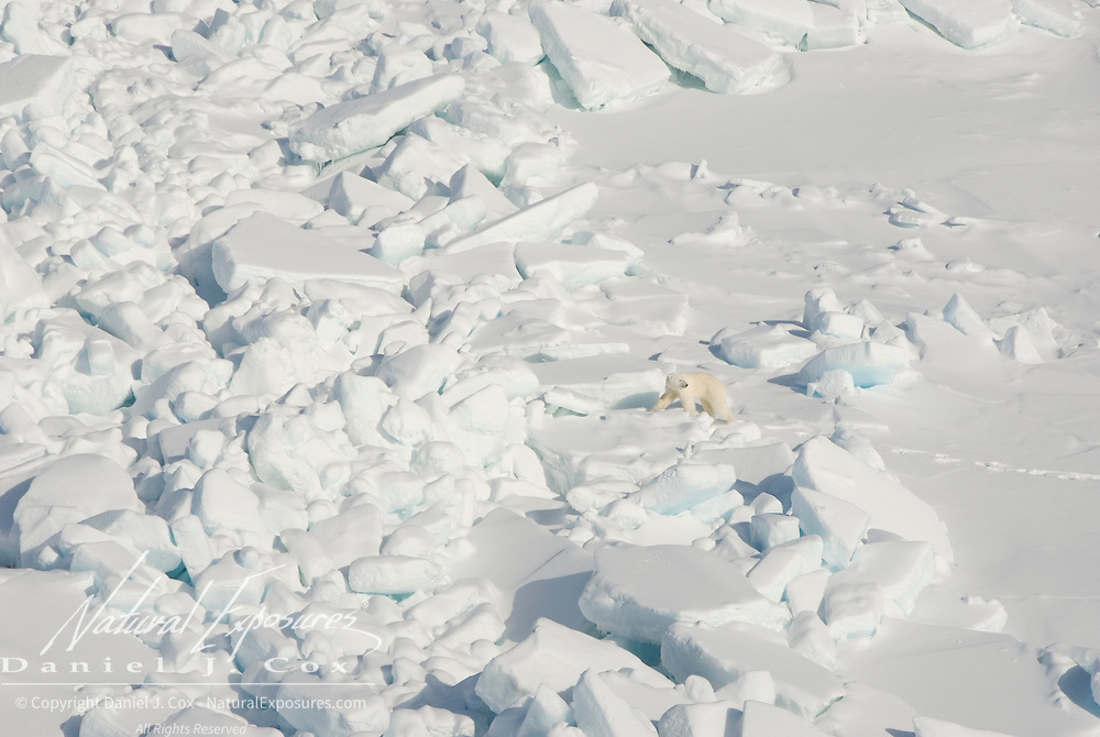 A polar bear (Ursus Maitimus) makes its way over the rugged ice of the Beaufort Sea. Kaktovik, Alaska