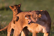 A beautiful lioness and her cub with early morning light on the green grass at Masai Mara National Reserve Kenya Africa<br /> Photo Credit by &copy;Claudio Zamagni