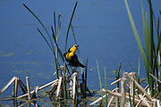 A Orange headed Blackbird makes his throaty cry in a pond at the south end of Jackson Hole
