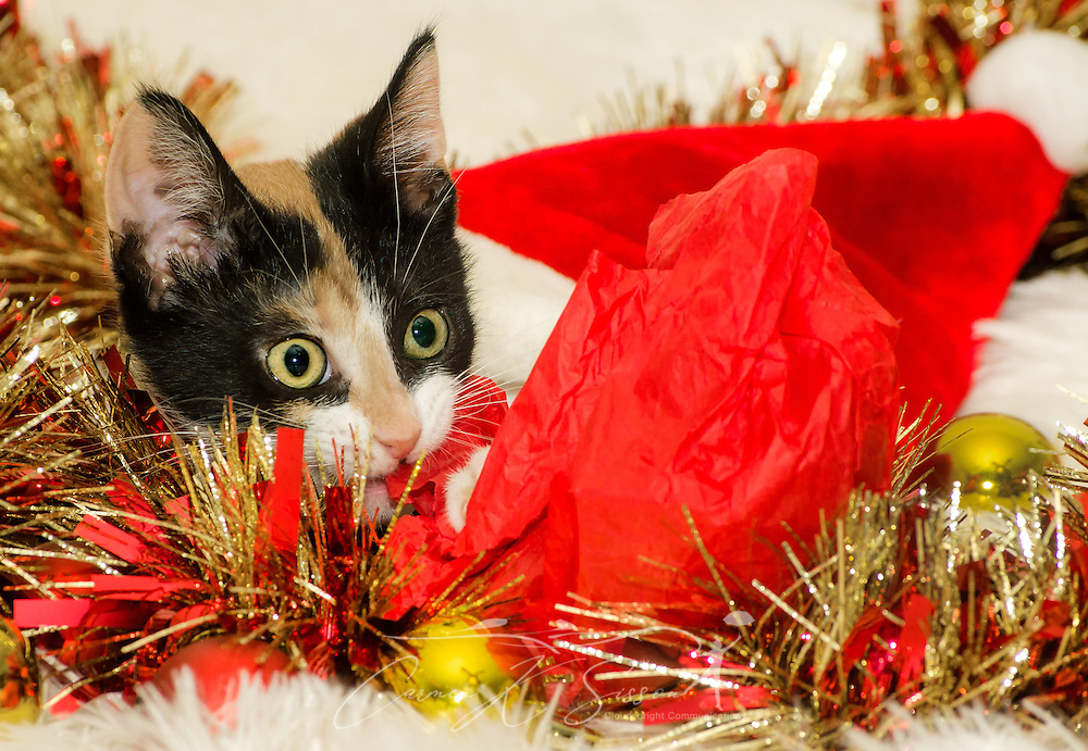 Pumpkin, a three-month-old calico cat, plays with Christmas garland, Dec. 26, 2014, in Coden, Alabama. (Photo by Carmen K. Sisson/Cloudybright)