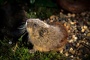 A true lemming (Lemmus sibiricus) portrait. Range: Siberia to Alaska. Photographed in captivity, Summer 1997.
