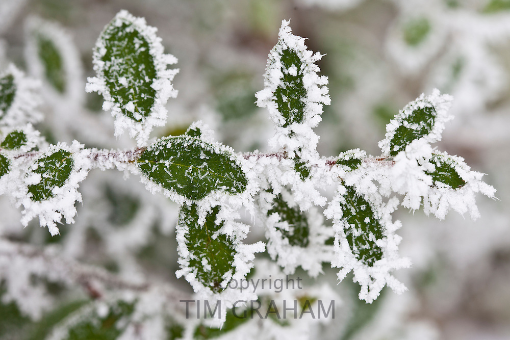 Winter scene hoar frost ice crystals on Portugese laurel bush in The Cotswolds, UK