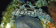 Marblefish