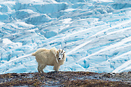 Mountain Goat (Oreamnos americanus) above the Exit Glacier in Kenai Fjords National Park in Southcentral Alaska. Summer. Afternoon.