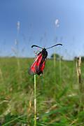 Beilfleck-Rotwidderchen oder Beifleck-Blutströpfchen  (Zygaena loti) | The Slender Burnet (Zygaena loti), a European moth on a field in Crawinkel