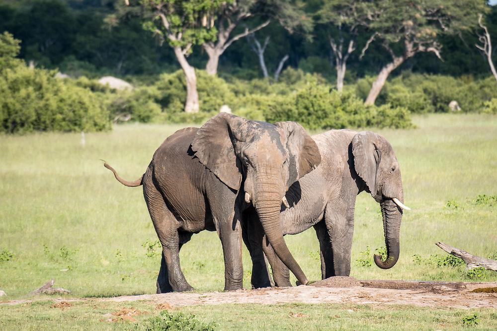 Mud covered elephants in the wetlands of Hwange National Park. Hwange, Zimbabwe.