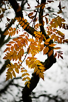 A cascade of golden Autumn leaves.