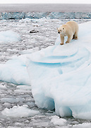 We were in a small icebreaker ship traveling off the Austfonna glacier in Nordaustlandet, Svalbard when our guide Rinie van Muers spotted a tiny bit of yellow in the midst of all the icebergs.  None of the passengers could spot the bear until we were quite a ways into the ice.  The bear was interested in us and provided quite a show.  At one point he seemed to be calculating how he could get on board to join us.  This was taken at 127mm (98mm with a 1.3 sensor) so we were quite close.