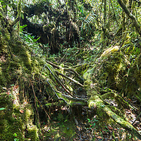 An abundant collection of mosses and other epiphytes in the montane heath forests of Gunung Silam, Sabah, Malaysia, Borneo, South East Asia.