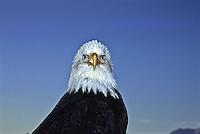 Bald Eagle (Haliaeetus leucocephalus) near Homer, Alaska.