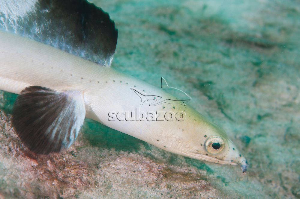 A Black-Finned Snake Eel, Ophichthus melanochir, swimming over the sand with its fins erected, Mabul Island, Sabah, Malaysia.