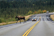 Wildlife, like Alaskan moose, abound along the ALCAN Highway and drivers best pay attention to the road.