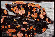 This orange shelf fungus thrives on charred logs in burned-over clearcuts; Amazon near Manaus. Brazil