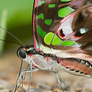 The Tailed Jay (Graphium agamemnon) is a predominantly green and black tropical butterfly that belongs to the swallowtail family. The butterfly is also called Green-spotted Triangle, Tailed Green Jay, or the Green Triangle.