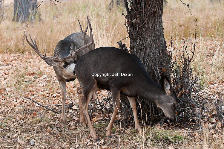 muledeer buck rutting doe