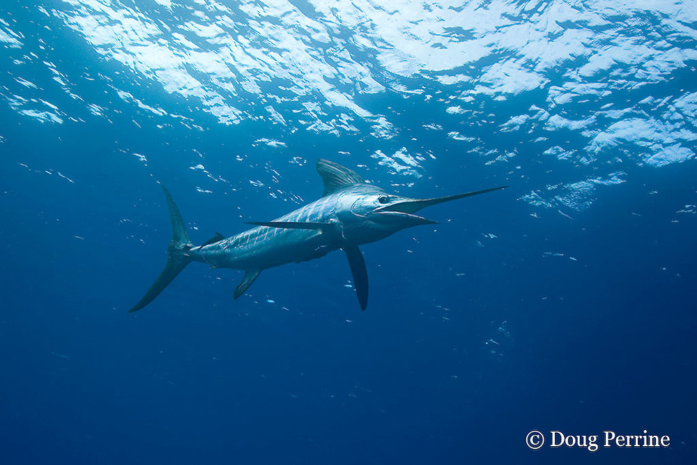 striped marlin, Kajikia audax (formerly Tetrapturus audax ), King Bank, North Island, New Zealand ( South Pacific Ocean )