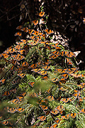 Monarch Butterflies mass packed in tightly for warmth as they sun on a tree in the forests of the El Capulin Monarch Butterfly Biosphere Reserve in Macheros, Mexico. Each year millions of Monarch butterflies mass migrate from the U.S. and Canada to the Oyamel fir forests in central Mexico.