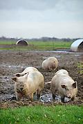 Nederland, Zeddam, 31-1-2013Op een biologische varkenshouderij, boerderij, lopen de dieren constant buiten en wroeten in de modder.Foto: Flip Franssen/Hollandse Hoogte