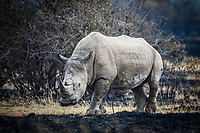 White Rhino bull, Pilanesberg National Park, North West, South Africa