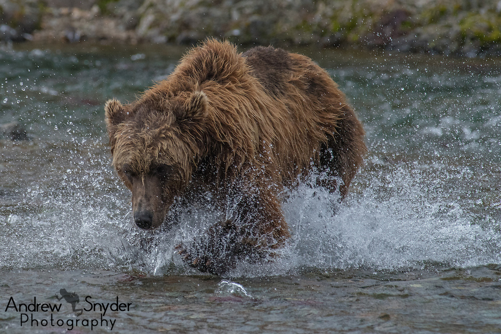 A brown bear (Ursus arctos) chases after salmon - Katmai, Alaska