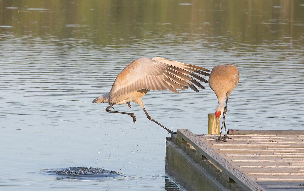 Sandhill Crane making a landing