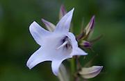 Storklokke, Campanula latifolia. Giant bellflower.