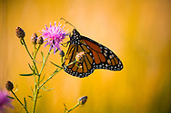 Monarch Butterfly - Michigan