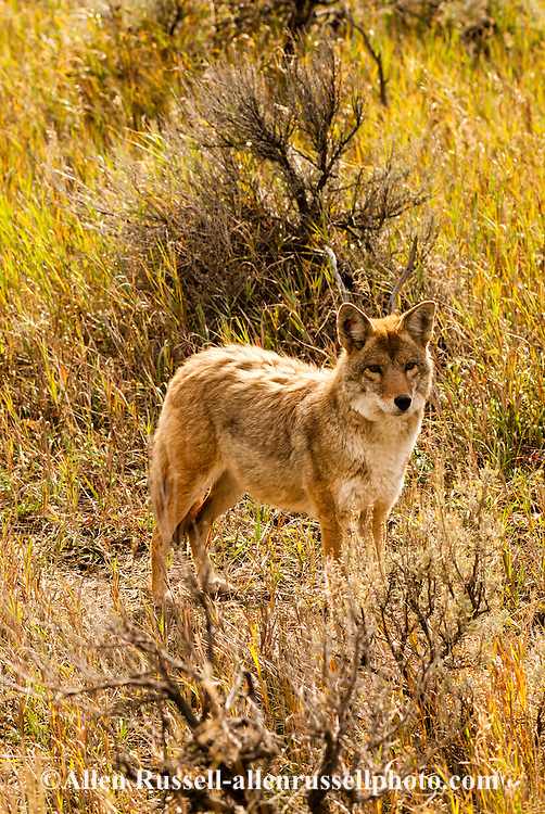 Coyote, (Canis latrans), Yellowstone National Park, Lamar Valley, Montana
