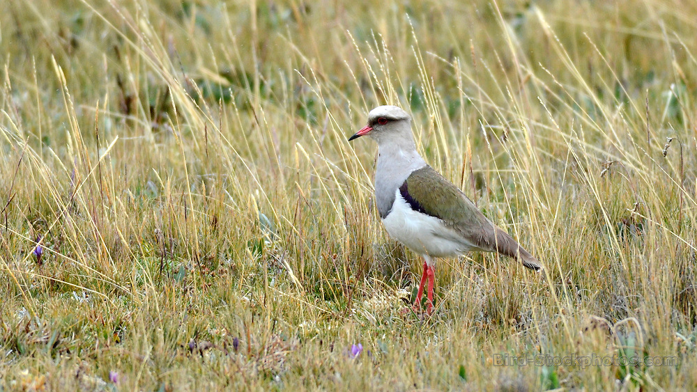 Andean Lapwing, Vanellus resplendens, Ecuador, by Forrest Rowland