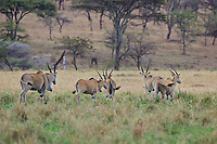 Herd of Eland, Northern Serengeti