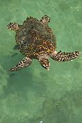 Carey sea turtle  (Eretmochelys imbricata) Oceanarium, San Martin de Pajarales island, Rosario islands, Cartagena de Indias, Colombia, South America.