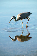 White faced heron, feeding. (Egretta novaehollandiae)
