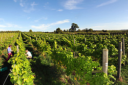 EMBARGOED TO 0001 MONDAY MAY 29 File photo dated 06/10/13 of grape picking at a vineyard, as a record number of new English wine producers and vineyards launched their business in the past year, a study shows.