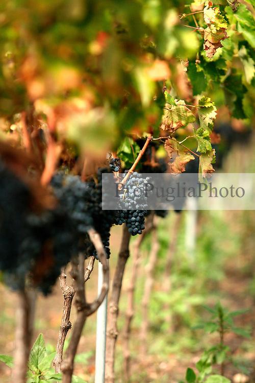 Grappoli d'uva cresciuti su di un vigneto giovane di tipo controspalliera; questo vigneto si trova a San Pancrazio Salentino in provincia di Brindisi; la qualità dell'uva è di tipo negramaro