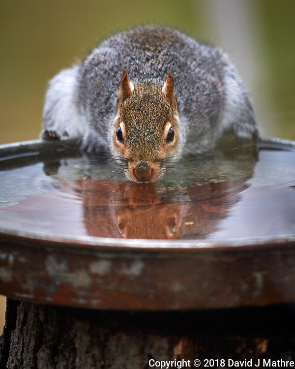 Grey Squirrel. Image taken with a Nikon D5 camera and 600 mm f/4 VR telephoto lens.